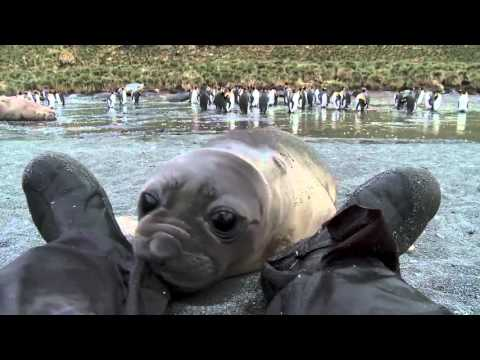 Curious Baby Elephant Seal Visits the Cameraman on the Beach