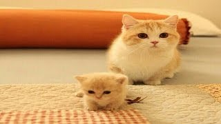 Mom Cat talking to her Cute Meowing Kittens   Cat mom hugs baby kittens