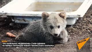 Забавные медвежата: как малыши развлекаются в новом зоопарке в Тбилиси