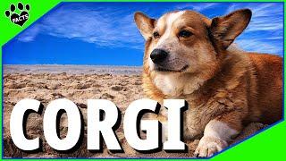 Dogs 101: Pembroke Welsh Corgi Interesting Facts Most Popular Dog Breeds - Animal Facts