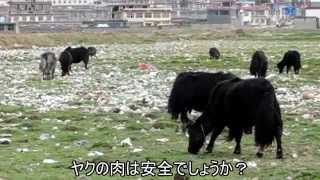preview picture of video '中国ゴミだらけの草原に放牧されるヤク 四川省理塘2014/07/19'