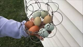 The Best Egg Laying Chicken Breed for Backyard Flocks