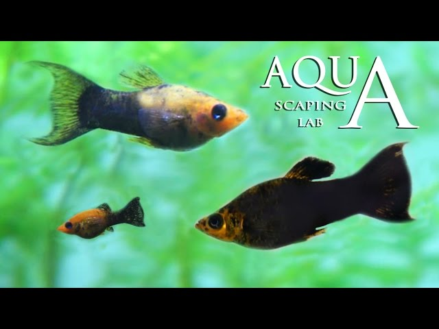 Aquascaping Lab - Poecilia Sphenops Black Molly fish technical sheet / scheda tecnica pesce