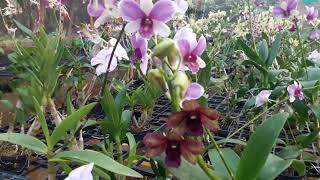 Dendrobium Orchid Repotting