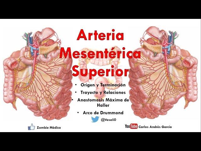 Anatomía Arteria Mesentérica Superior anatomía arteria mesentérica ...