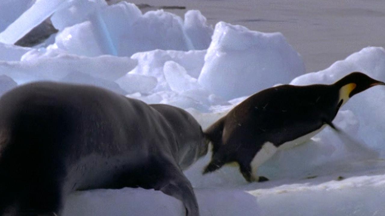 Leopard Seal Kills Emperor Penguin #01