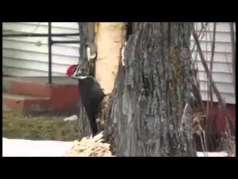بالفيديو: هذه نتيجة غضب نقار الخشب الروسي