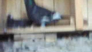 adanaceyhan güvercinleri