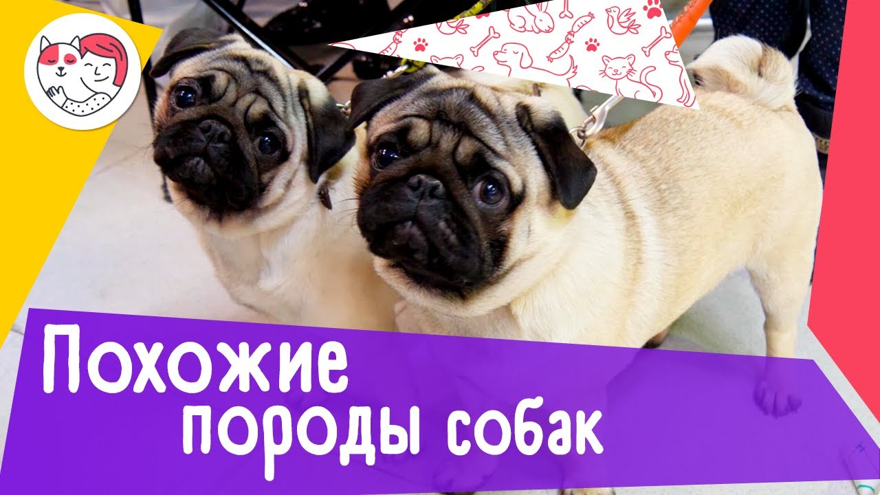 5 пар пород собак, которые очень похожи друг на друга