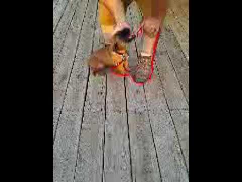 8 week old Mastiff Male puppy