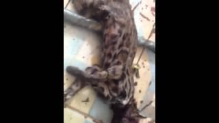 preview picture of video 'Báo đá mèo rừng'