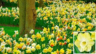 How to Plant Daffodil in the Border: Spring Garden Guide