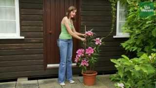 How To Grow Lilies With Van Meuwen