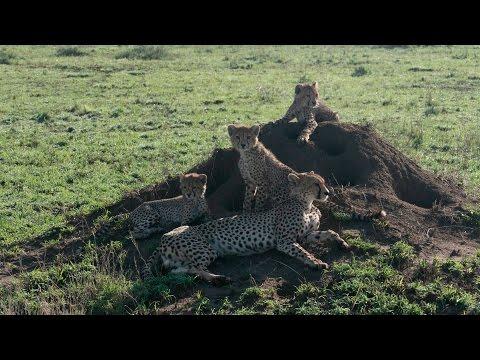 תיעוד מרגש של חיי הטבע הסוערים של שמורת הסרנגטי