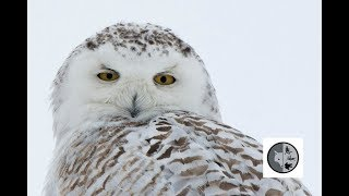 INTO NATURE Ep.38 : In search of Snowy Owl