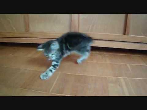 Katze jagt eigenen Schwanz