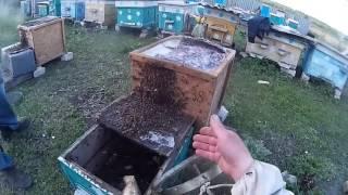 Как поймать пчел воровок в ловушку