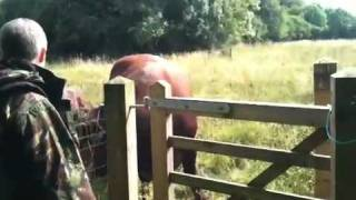 preview picture of video 'Bull at Fancott Wood'