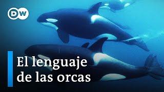 ¿Los cetáceos y los humanos hablan el mismo lenguaje?   DW Documental
