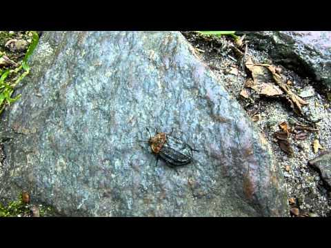 Oiceoptoma thoracicum (Rothalsige Silphe)