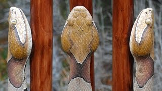 Copperhead Walking Stick 58 And A Wood Carved Coffee Mug