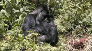 preview picture of video 'Gorilla trekking Rwanda - Silverback & gorilla babies fighting'