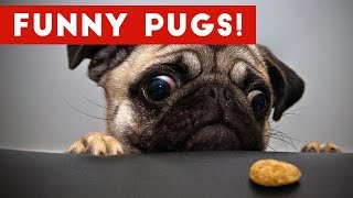 The Funniest & Cutest Pug Home Videos Weekly Compilation | Funny Pet Videos