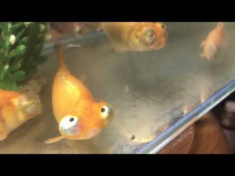 ハイブリッドB頂天眼風水金魚の開発講座当歳魚6ヶ月
