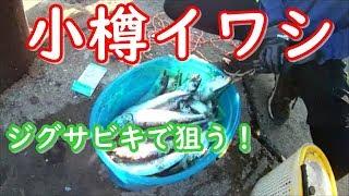 イワシをジグサビキで釣りました。in小樽