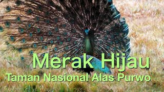Green-peafowl Dancing in High Wind