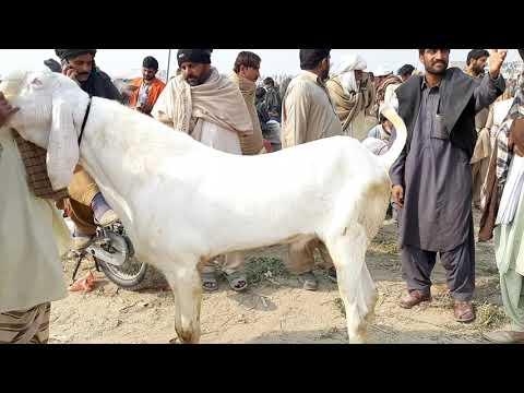 Bakra Mandi Pakistan 03176205675Mohammed Ghori Bakrid