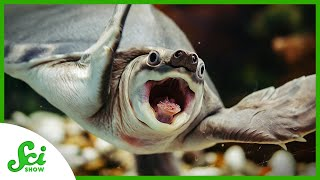 Slowly Solving the Mystery of Turtle Origins