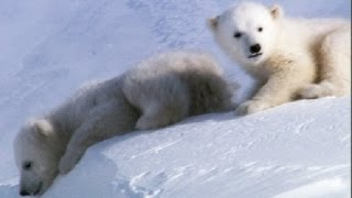 Cool Cute Cubs!   Amazing Animal Babies: Polar Bears   Earth Unplugged