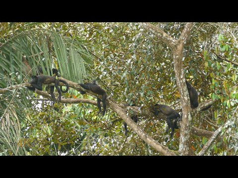 The Mantled Howler Monkey is the loudest animal of the rainforest