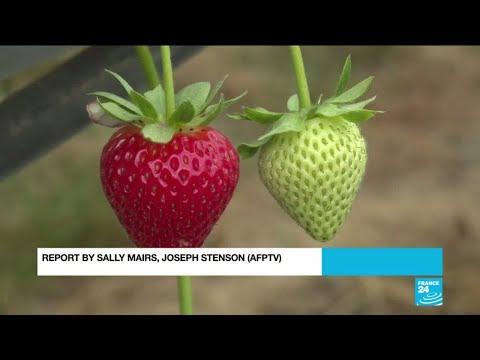 Worker shortage puts strawberry harvest in Britain under threat