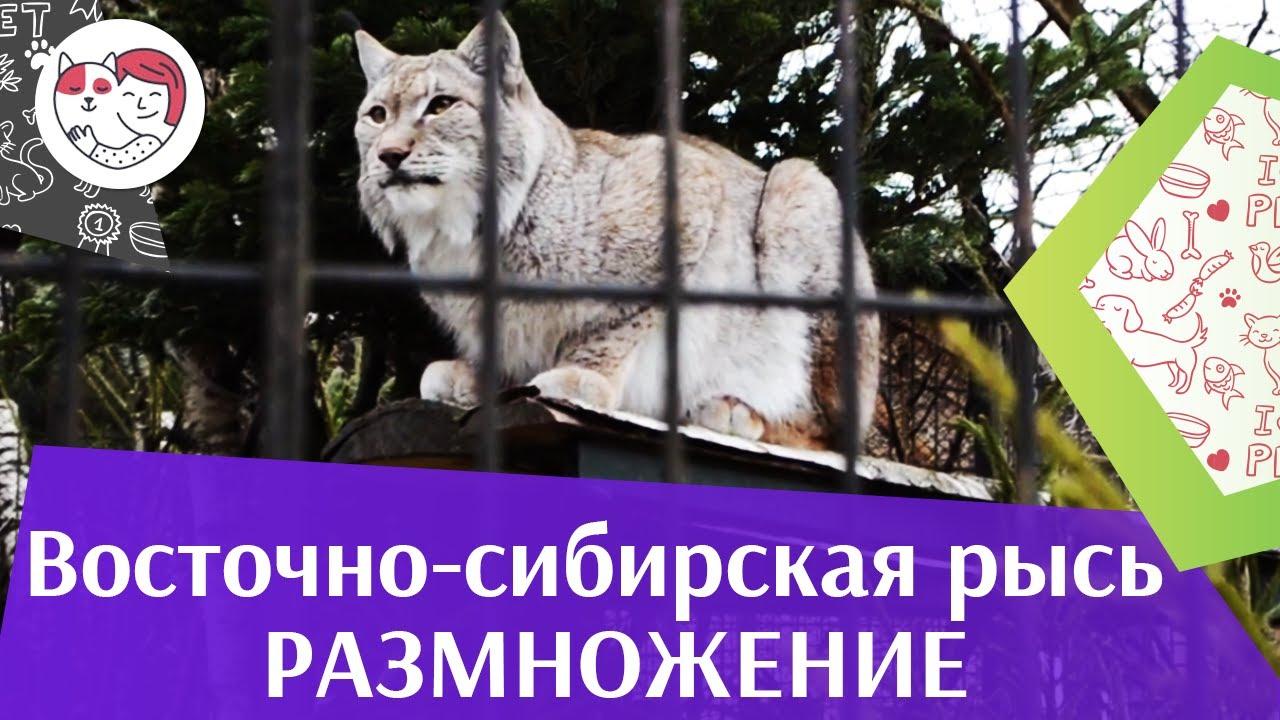 Восточно сибирская рысь Размножение на ilikepet