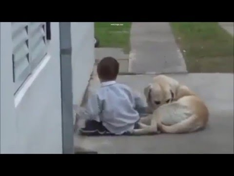 Watch video Síndrome de Down: Labrador amarillo cuidando de un niño