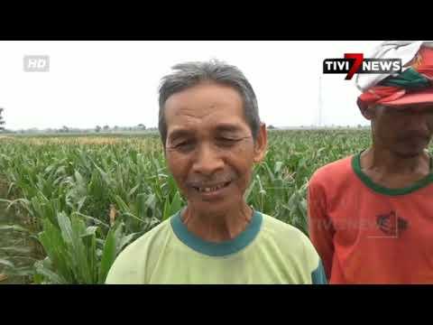 NGANJUK - Hama Ulat Jagung Ancam Petani Nganjuk Gagal Panen