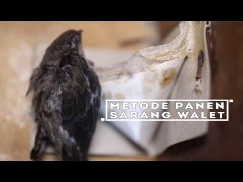 Tips Memanen Sarang Walet