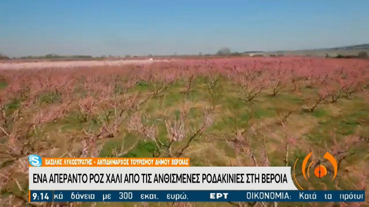 Βέροια: Ένα απέραντο ροζ «χαλί» από ανθισμένες ροδακινιές | 31/03/2021 | ΕΡΤ