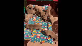 Weimaraner Puppies Videos