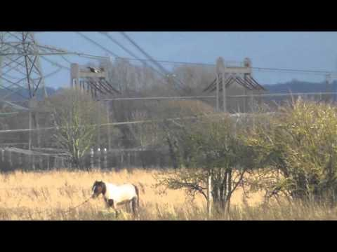 , title : 'good Ducks & Marsh harrier hunting  Burwell Fen Cambridgeshire UK 16Dec15 245p
