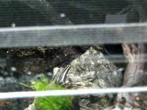 Epipedobates Tricolor Salvias Poison Arrow Frog calling