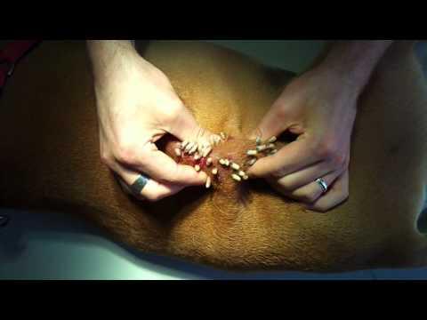 Perro con gusanos en la piel