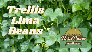 Trellis Grown Lima Beans.
