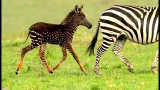 Baby Zebra Born With Spots