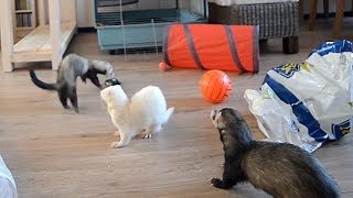 Ferret Playtime!