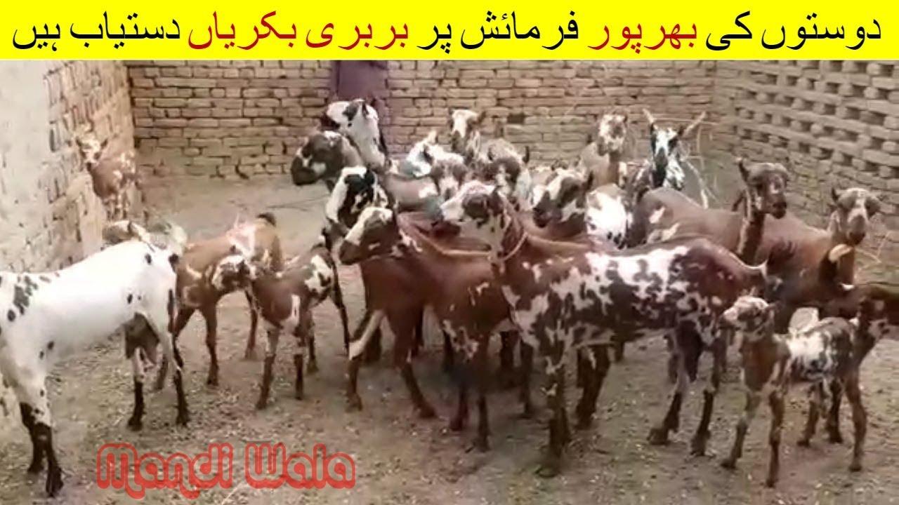 82 | Bakra Mandi 2018/2019 | Video in Urdu/Hindi | Barbari