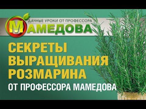СЕКРЕТЫ выращивания РОЗМАРИНА от профессора Мамедова