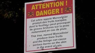 Toxic fruits and tree : Mancelinier